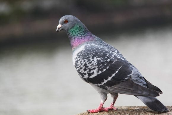 bird_pigeon_beautiful