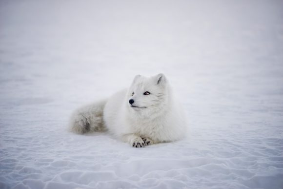 fox_arctic