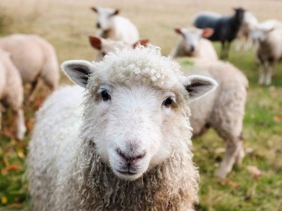 Livestock Lambs Ireland Sheep Closeup Animals
