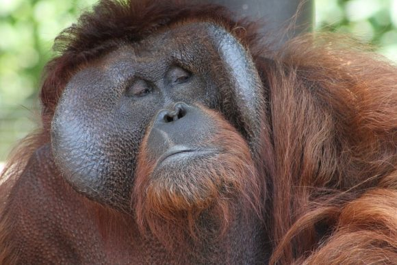 orangutan looks cynical