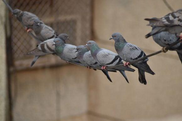 pigeons-line