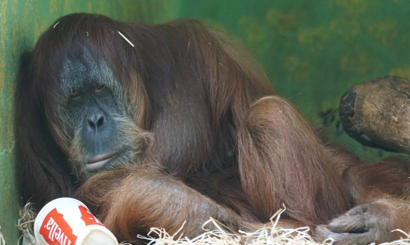 Orangutan And Its Dramatic Story You Might Haven't Known