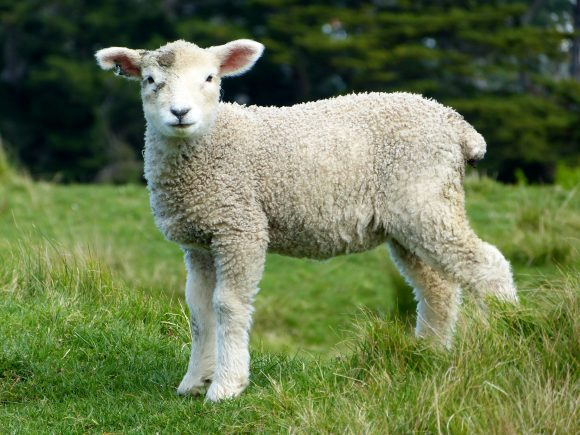 sheep-white-lambs-goats-59863