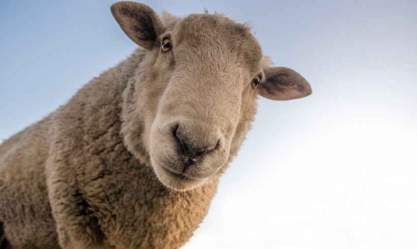 Researchers Found Out Sheep Can Recognize Our Faces