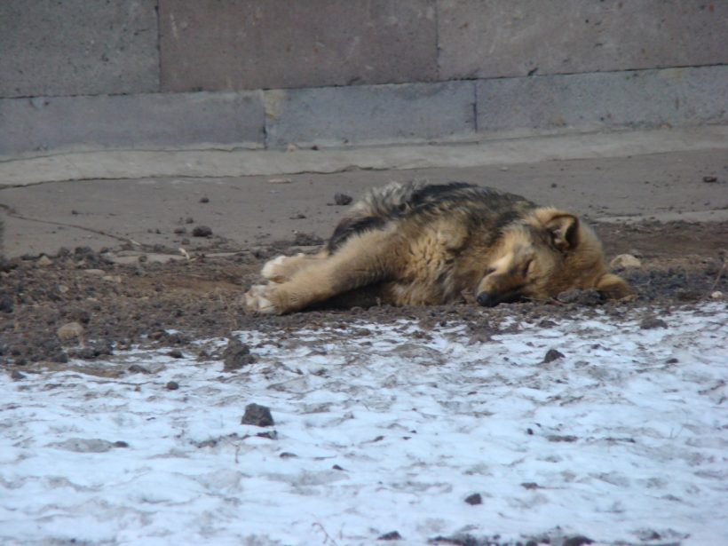 No More Stray Dogs Killing For World Cup 2018, Russia 'Promised'