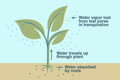 Transpiration illustration (NASA)