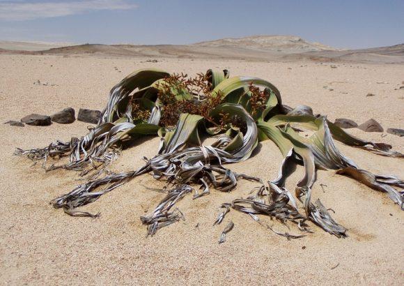welwitschia-mirabillis in desert