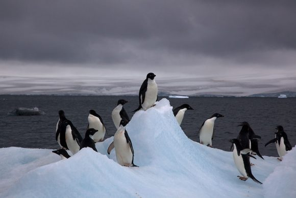 Adelie_Penguins_on_iceberg (Wikimedia Commons)
