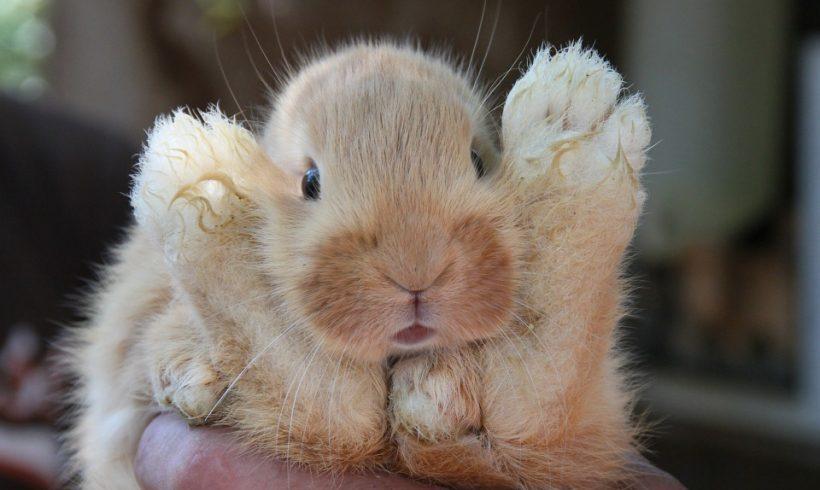 Rabbit Invasion: Meet Australian's Cutest And Biggest Enemy