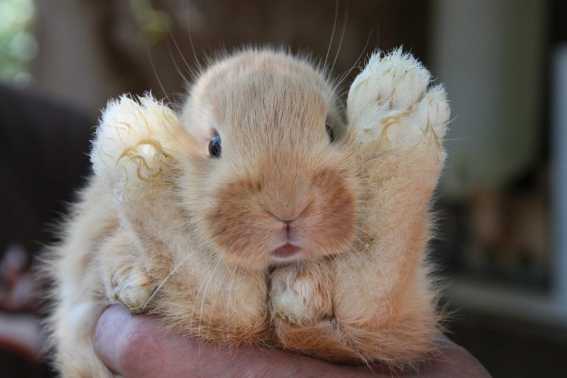 Rabbit Invasion: Meet Australian's Cutest And Biggest Enemy