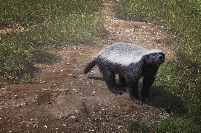 Try To Learn From Honey Badgers, The Most Fearless Creature