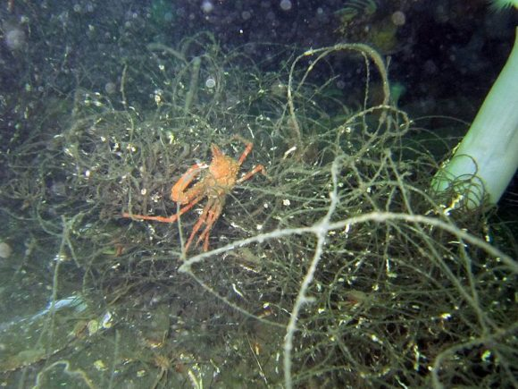 March_27,_2013_-_Small_crab_stuck_in_'ghost_nets'_on_Puget_Sound_seafloor_(Wikimedia Commons)