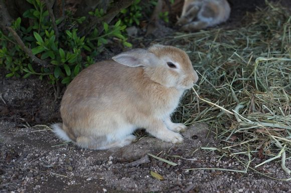 Hiroshima ōkunoshima Small Animals Rabbit Wild