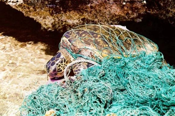 Turtle_entangled_in_marine_debris_(Wikimedia Commons)