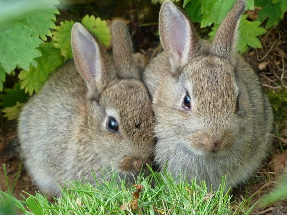 Wild_Rabbits_at_Edinburgh_Zoo (Wikimedia Commons)