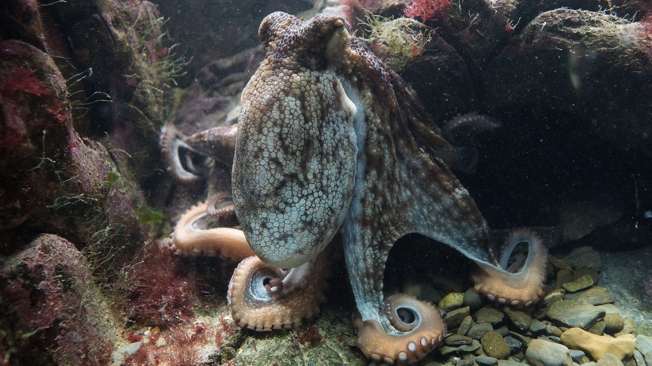 octopus resting