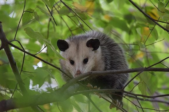 800px-Opossum_(Wikimedia Commons)