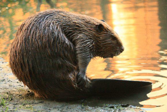 Beaver (Wikimedia Commons)