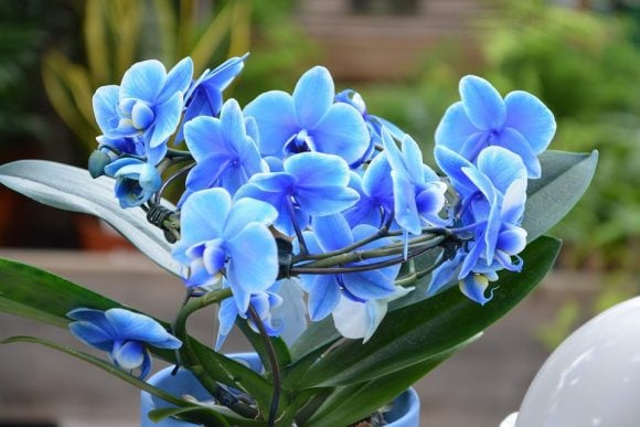 Flowers Orchid Nature Blue Orchid Orchids Blue