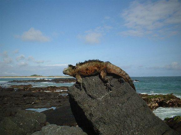 Galapagos_iguana(Wikimedia Commons)