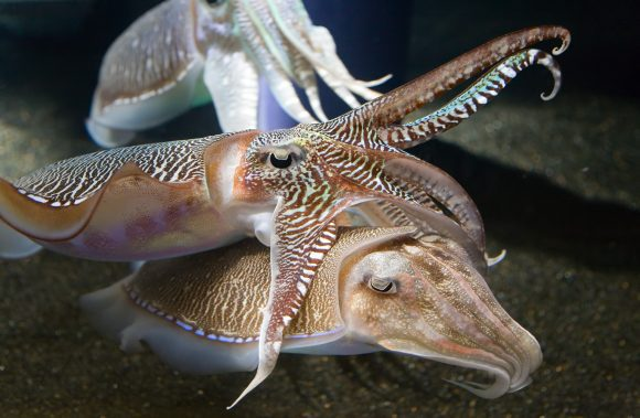Georgia_Aquarium_-_Cuttlefish (Wikimedia Commons)