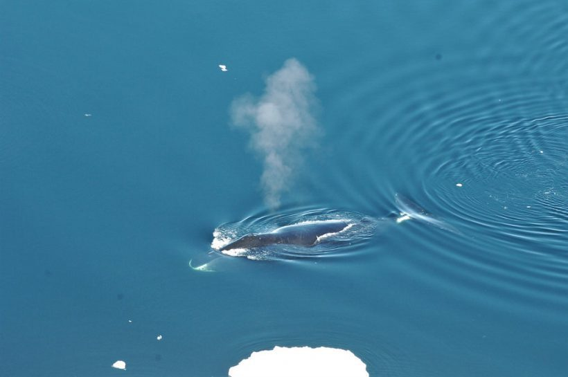 More Than Just Humming, Bowhead Whales Are Doing Jazz
