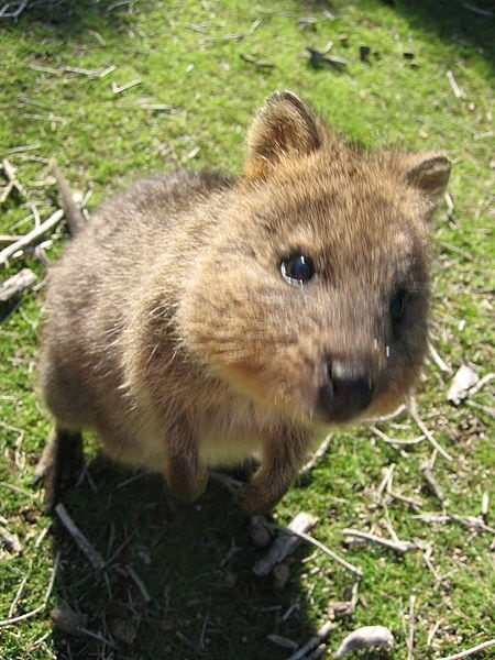 Quokka (Wikimedia Commons)