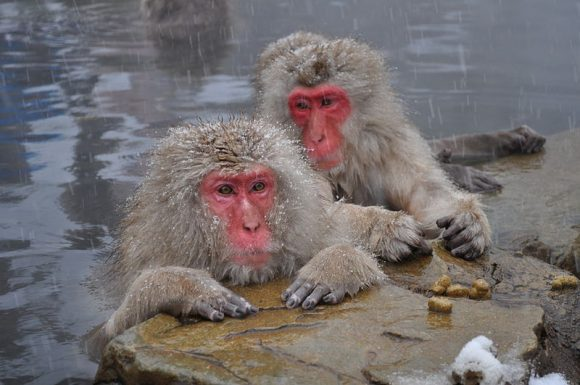 Snow_Monkeys,_Nagano,_Japan (Wikimedia Commons)