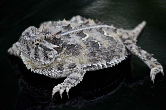 Texas_horned_lizard (Wikimedia Commons)