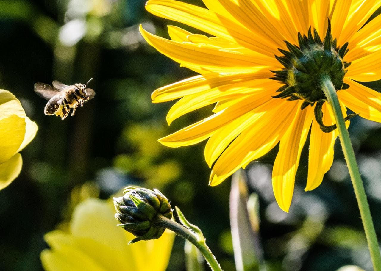bees are essential to pollination