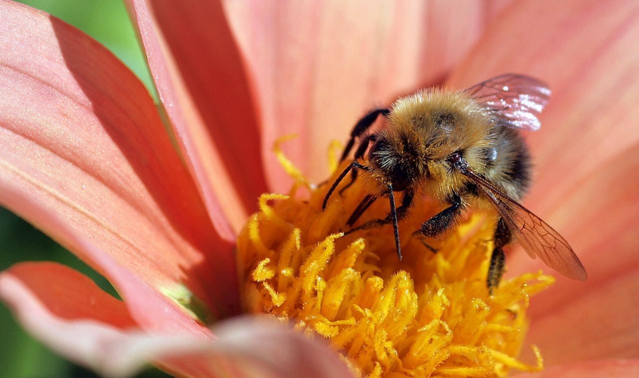 honeybee on dahlia