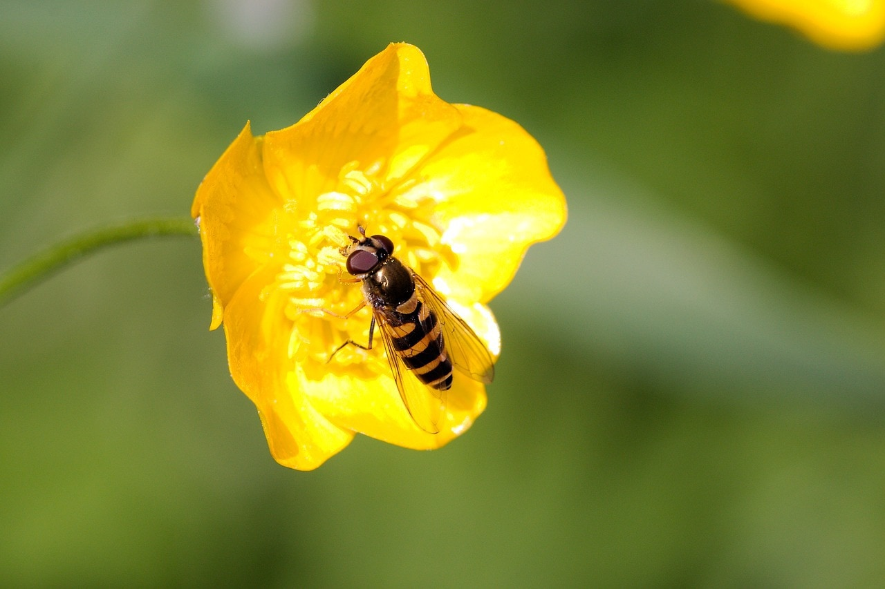 hoverflies might also be a reason that bees decline