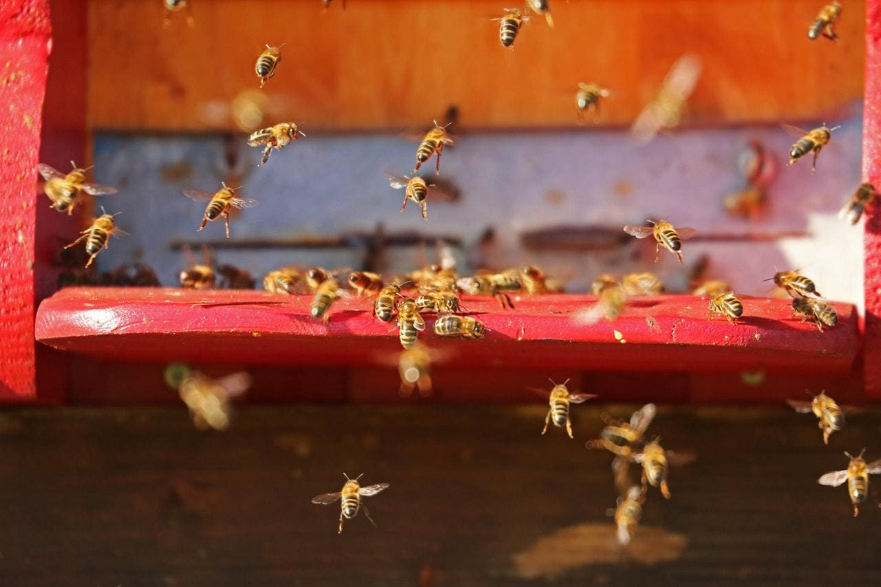 bees swarming around the hive