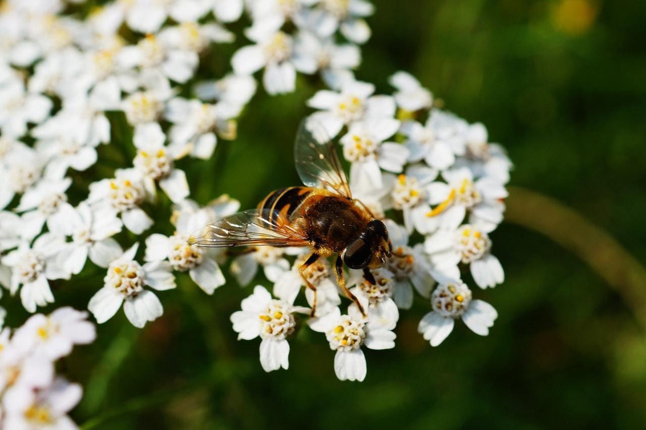 honey bee doing its job
