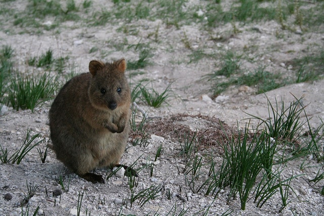 Meet The Most Cheerful Animal On Earth: Quokka