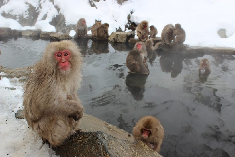 Japanese Snow Monkeys And Their Obsession To Hot Springs