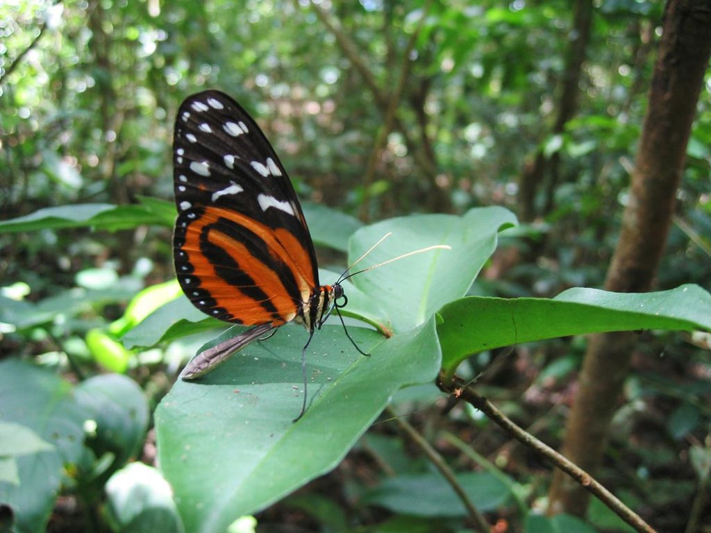 A butterfly in the forest of Panama by Dirk van der Made Wikimedia Commons
