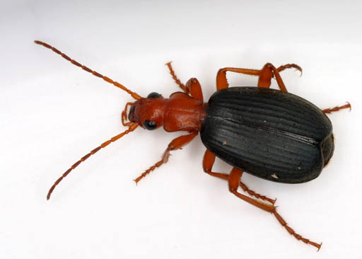 Brachinus (Wikimedia Commons)