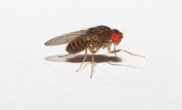 Drosophila_hydei_larger_fruitflies_for_small_frogs