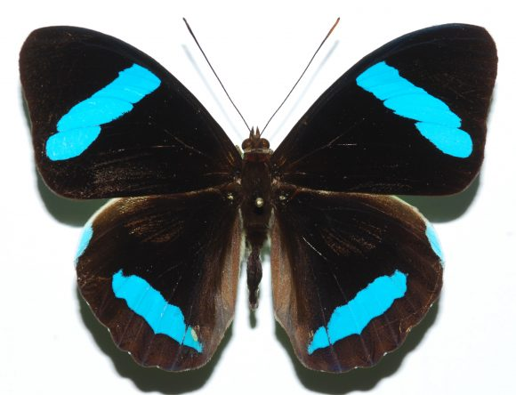 Hewitson's Olivewing Nessaea hewitsoni Puyo, Equateur