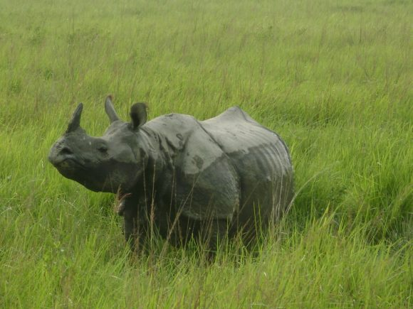 Indian_Rhino_of_Assam,_Kaziranga_National_Park (Wikimedia Commons)