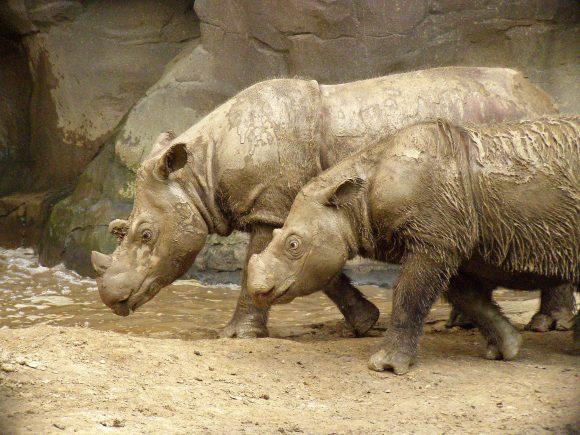 Sumatran_Rhino-Wikimedia-Commons.jpg