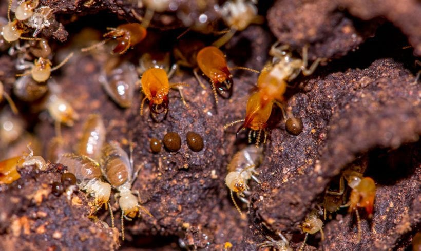 Termites, One Of The Greatest Architects And Builders In Nature