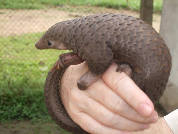 Tree_Pangolin (Wikimedia Commons)