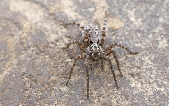Wolf_spider_in_Alaska (Wikimedia Commons)