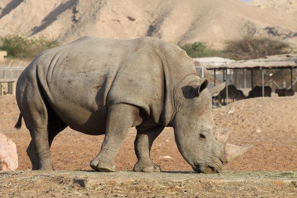 Zoo Rhinoceros Rhino