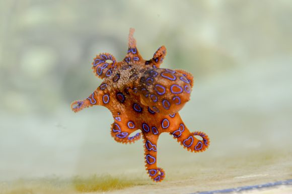 animal-blue-ringed-octopus-marine