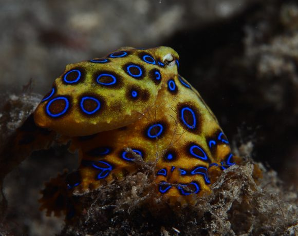 Blue-Ringed Octopus, The Beautiful Angel Of Death From The Ocean