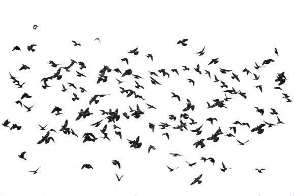 flock-of-birds