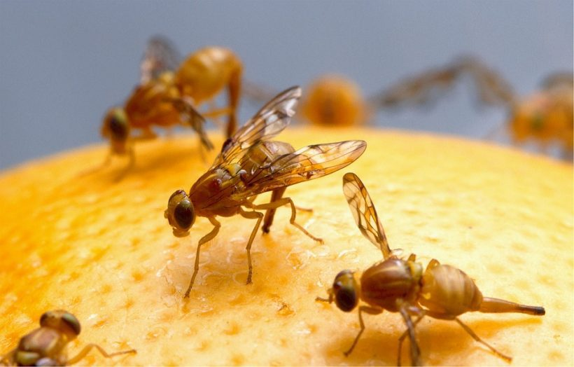 Fruit Flies And Their Relationship With Astronauts In Outer Space